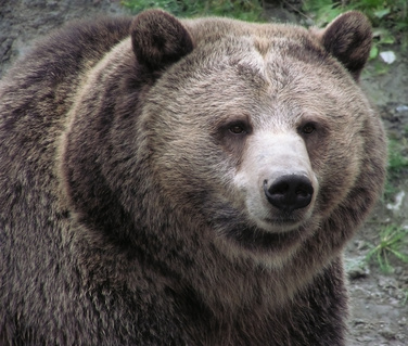 Close-up of a female Grizzly bear