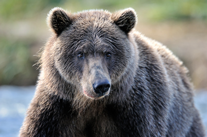 Portrait of a Grizzly Bear.