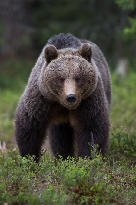 Brown bear in Tiago forest