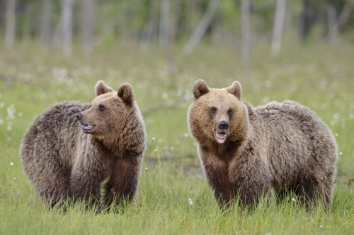 Coppia orsi