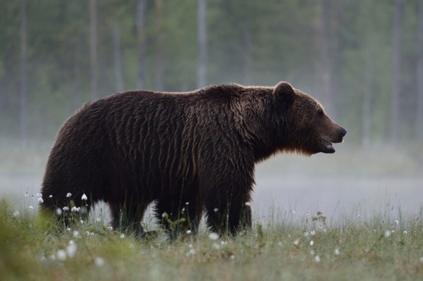 Brown bear in the misty bog